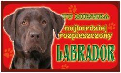 LABRADOR CZEKOLADOWY